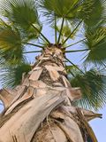 Looking up a palm tree Stock Photo