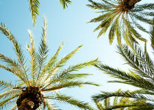 Looking up in a palm tree Royalty Free Stock Photos