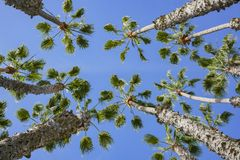 Looking up the palm tree with blue sky. Photo took at Los Angeles Royalty Free Stock Photography