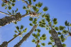 Looking up the palm tree with blue sky. Photo took at Los Angeles Stock Photo