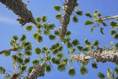 Looking up the palm tree with blue sky. Photo took at Los Angeles Royalty Free Stock Photo