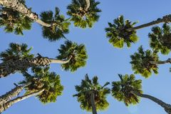 Looking up the palm tree with blue sky. Photo took at Los Angeles Royalty Free Stock Photos