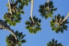 Looking up the palm tree with blue sky Royalty Free Stock Image