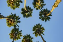Looking up the palm tree with blue sky Stock Photography