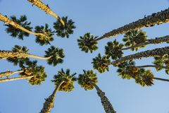 Looking up the palm tree with blue sky Stock Photo