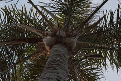 Looking Up at a Palm Tree Top Stock Images