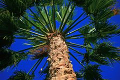 Looking up at a Palm Tree. royalty free stock photo