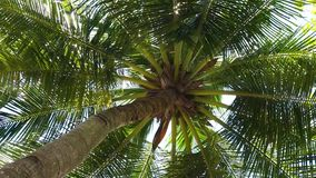 Looking up at palm tree on wind. With sun shining through, tropical beach stock video
