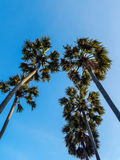 Looking up at palm trees against a blue sky Stock Images