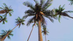 Looking up at palm trees against clear blue sky. rotating shot stock footage
