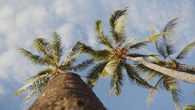 Looking up at palm trees on the background of blue sky with clouds on maui,hawaii. Beautiful picture of the wonderful tropical trees and romantic blue sky with stock video footage