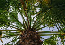 Looking up at palm trees. High palm trees in Portugal Royalty Free Stock Photography