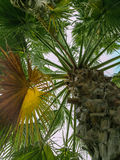 Looking up at palm trees. High palm trees in Portugal Stock Images