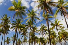 Palm Trees. Looking up at palm trees on a sunny day Stock Photo