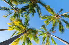 Looking up at palm trees. At Surfers Paradise on the Gold Coast in Australia Stock Images