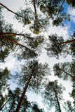 Looking Up In Pine Forest Tree. Under Blue Cloudy. Looking Up In The Pine Forest Tree. Under Blue Cloudy Sky Royalty Free Stock Images