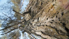 Looking up a pine tree into its canopy. stock footage