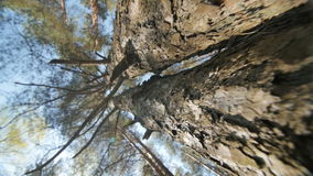 Looking up a pine tree into its canopy. stock video