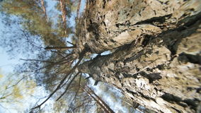 Looking up a pine tree into its canopy. stock video footage