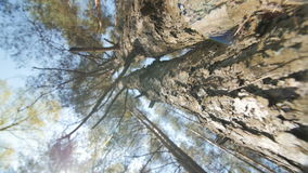 Looking up a pine tree into its canopy. Camera moves along the pine trunk. Slow motion stock video
