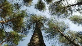 Looking up at pine tree tops against clear blue sky in the coniferous forest. Low angle view. Looking up at swaying slowly pine tree tops against clear blue sky stock footage