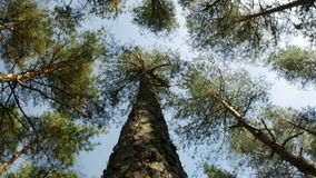 Looking up at pine tree tops against clear blue sky in the coniferous forest. Low angle view stock footage
