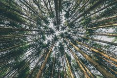 Looking Up Pine Trees Crowns Branches In Woods Or Forest. Royalty Free Stock Photo