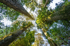 looking up at pine trees in forest Royalty Free Stock Image