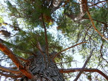 Looking up through Pine Trees Royalty Free Stock Photo