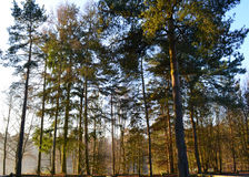 Looking up at pine trees, UK. Looking up at forest of pine trees on sunny winter morning with light of low sun on trees Royalty Free Stock Photos