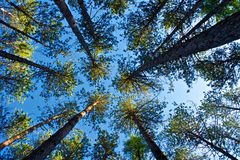 Looking Up at Pines Stock Photography