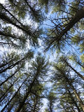 Looking up into the pines Stock Photography