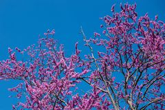 Pink tree with blue sky royalty free stock photo