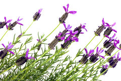 Looking up at Purple and Green Lavender Plants on White. Close up upward view of flowering  purple and green lavender plants on white background Stock Photo