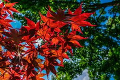 Japanese Maple Leaves glowing in the Sun stock photos