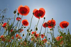 Looking up at red poppies in spring field in Southern Spain Royalty Free Stock Image