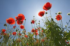 Looking up at red poppies in spring field in Southern Spain Stock Photography