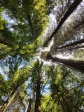 Looking up in a redwood forest royalty free stock photos