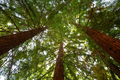 Looking up at Redwood Trees Stock Photo