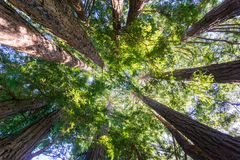 Looking up in a Redwood trees forest, California royalty free stock photo