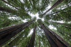 Looking Up at Redwood Trees. Looking straight up redwood trees in Humboldt Redwoods State Park royalty free stock photo
