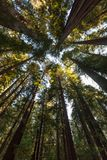 Looking up through redwood trees near Smithe Redwoods State Resv, Leggett, CA. A feeling of be small compared to the giant redwood trees of the Pacific coast in stock photo