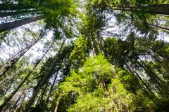 Looking up in a Redwood trees Sequoia Sempervirens forest, Henry Cowell State Park, Santa Cruz mountains, San Francisco bay area stock images