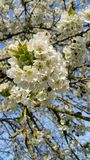 Cluster of cherry blossom Stock Photo