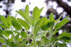 Looking up at sage plant leaves Royalty Free Stock Photos