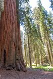 Sequoia in Sequoia National Park royalty free stock image