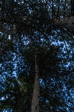 Looking up. Sitting on a bench under those tall, majestic trees was a nice experience all by itself, till I looked up! The only thing I thought at that very Royalty Free Stock Photography