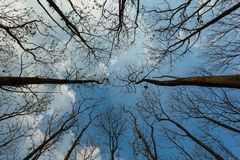 Looking up at the sky Dry tree the nature wakes up after winter background of a bright blue sky,trees against the sky. Looking up Dry tree the nature wakes up Royalty Free Stock Photo