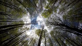 Looking up the sky through the high trees of the woods in spring season. UHD 4K stock video footage