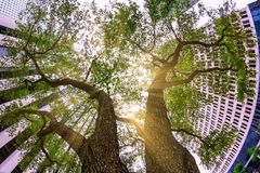 Looking up skyward between two majestic trees nestled in a city block. Stock Image
